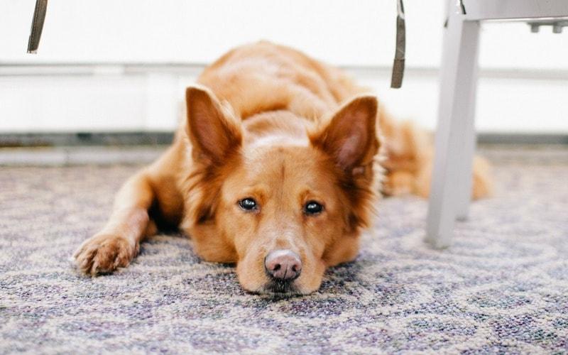 Як вивести запах собачої сечі з килима
